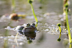 Edible frog (Pelophylax esculentus) Royalty Free Stock Image