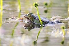 Edible frog (Pelophylax esculentus) Stock Image