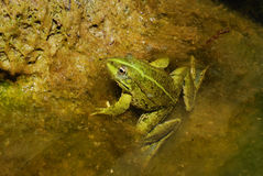 Edible Frog - Pelophylax kl. esculentus Stock Photography