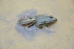 Pelophylax esculentus. The edible frog Pelophylax kl. esculentus stock photo