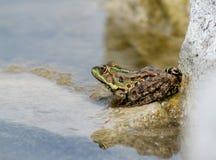 Edible Frog (Pelophylax kl. esculentus) Stock Images
