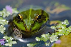 Edible Frog in pond close-up royalty free stock photo