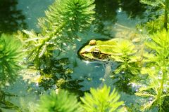 Edible frog in a pond Stock Image