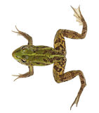Edible Frog, Rana esculenta Royalty Free Stock Images