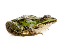 Edible Frog - Rana esculenta Stock Photography