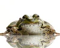 Edible Frog - Rana Esculenta Royalty Free Stock Photos
