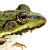 Edible Frog - Rana esculenta Royalty Free Stock Photography