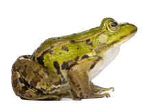 Edible Frog - Rana esculenta Royalty Free Stock Photo