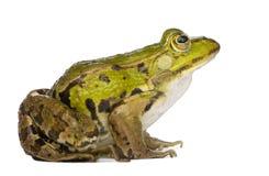 Edible Frog - Rana Esculenta Royalty Free Stock Photo