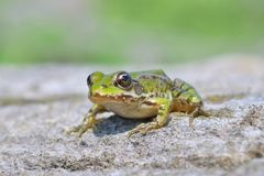 Edible frog ( Rana esculenta) Royalty Free Stock Images