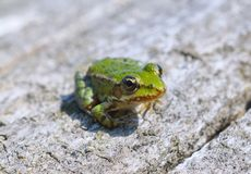 Edible frog ( Rana esculenta) Stock Photo