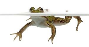 Edible Frog, Rana Esculenta, In Water Stock Photos