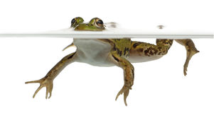 Edible Frog, Rana esculenta, in water. In front of white background Stock Photos