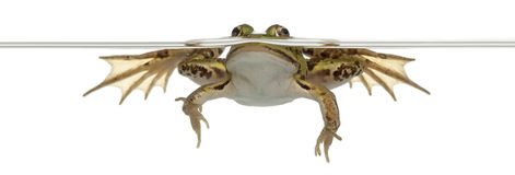 Edible Frog, Rana esculenta, in water Stock Photography