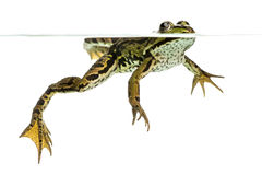 Edible Frog swimming at the surface, viewed from below Royalty Free Stock Images