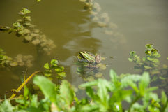 Edible Frog swimming in the water.  Stock Images