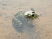 Edible frog in the water Royalty Free Stock Images