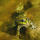 Edible frog in  water Stock Photography