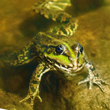 Edible frog in  water Stock Photo
