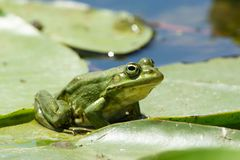 Edible Frog on Water. In Summer Royalty Free Stock Photos