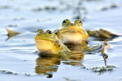 Edible Frog on Water. In Summer Royalty Free Stock Photography
