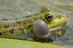 Edible Frog on Waterlily leaf Royalty Free Stock Photography