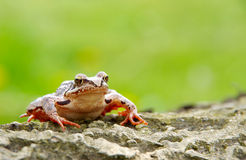 Edible Frog Royalty Free Stock Photos