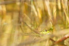 Edible frog (Pelophylax kl. esculentus) Stock Photo