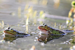 Edible frogs (Pelophylax esculentus) Royalty Free Stock Images