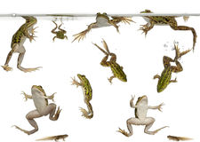 Edible Frogs and tadpoles swimming. Edible Frogs, Rana esculenta, and tadpoles swimming under water against white background stock photo