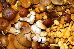 Edible fungi. Different types of edible mushrooms,collected in the forest Stock Photography