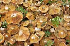 Edible fungus Stock Image