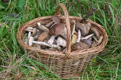 Basket with mushrooms stands on the green grass. Edible fungus grew in the forest, autumn harvesting, search, hunting. A beautiful hat and a thick leg are hidden stock photography