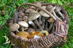 Full basket of mushrooms in green grass. Edible fungus grew in the forest, autumn harvesting, search, hunting. A beautiful hat and a thick leg are hidden in the stock photography
