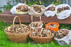 Many mushrooms collected in the forest in baskets and packets Stock Image