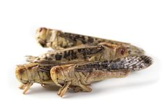 Edible grasshoppers. Isolated on a white background royalty free stock images