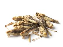 Edible grasshoppers. Isolated on a white background royalty free stock photo