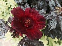 Edible Hibiscus Royalty Free Stock Image