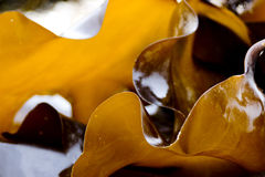 Edible kelp microspur Stock Photography