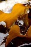 Edible kelp microspur Stock Photos