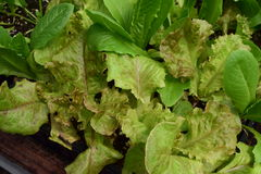 Edible lettuce growing in a seed flat. Several types of leaf lettuce growing in a seed flat and ready to be transplanted stock image