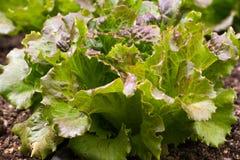 Edible lettuce leaves. Vegetable on organic garden Stock Photos