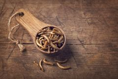 Edible mealworms. In a wooden spoon royalty free stock photos