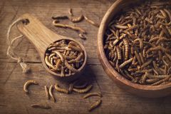 Edible mealworms. In a wooden spoon royalty free stock image