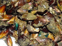 Edible molluscs from sea. Edible molluscs sea-food with shell Stock Images