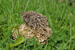 Edible Morel Fungus Royalty Free Stock Photos
