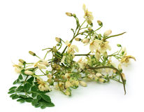 Edible moringa flower with green leaves Stock Photos