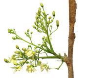 Edible moringa flower Stock Images
