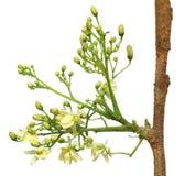 Edible moringa flower Stock Images