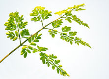 Edible moringa leaves Stock Image
